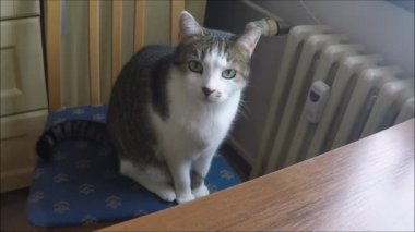 Cat sitting on a chair — Vídeo stock