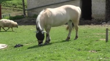 Horse grazing in a pasture in the warm afternoon sun — Stock Video