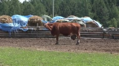 Brown cow in the meadow — Stock Video