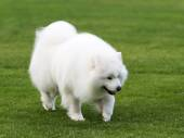 Samoyed on the grass. — Stock fotografie