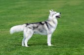 Husky dog on the grass. — Stock Photo