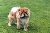 Chow -chow dog on the grass. — Stock Photo