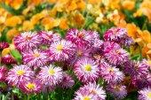 Spring daisies. — Stock Photo
