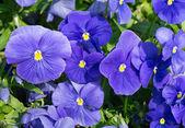 Blue pansies. — Stock Photo