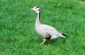 Grey duck on the grass in zoo. — Stock Photo