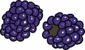 Cartoon ripe Blackberries — Stock Vector