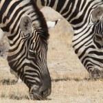 Portrait of a pair of grazing zebra — Stock Photo #63996407