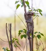 Inquisitive baby vervet monkey — Stock Photo