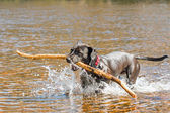 Black dog fetching stick — Stock Photo