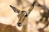 Inquisitive female impala — Stock Photo