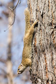 African tree squirrel — Stock Photo