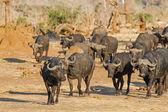 Cape buffalo with oxpecker — Stock Photo