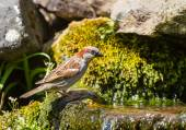Male house sparrow at water — Stock Photo