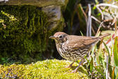 Mistle thrush searching for food — Stock Photo