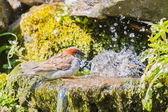 Male house sparrow waiting in queue for bath — Stock Photo