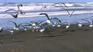 Seagulls fly at beach — Stock Video