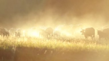 Kovboyların sığır hayvan sürüsü — Stok video