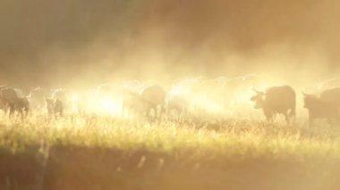 Cowboys herding cattle — Stock Video
