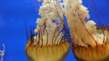 Jellyfishes swimming in ocean — Stock Video
