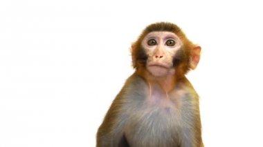 Java Macaque Monkey — Stockvideo