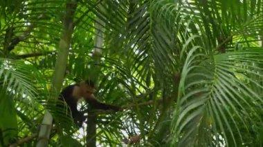 Cute Capuchin Monkey — Stockvideo