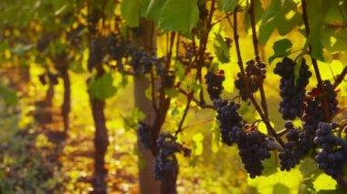 Pinot Noir grapes in vineyard — Stock Video