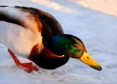 Wild duck standing on the shore of pond — Stock Photo