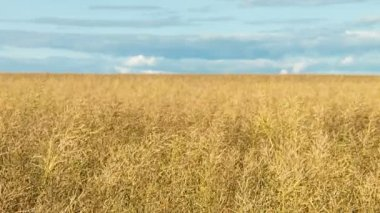 A large field of ripe wheat — Stock Video