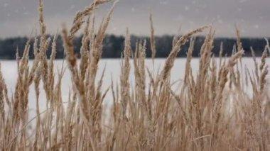Oblast ozimé pšenice s sněhové vločky — Stock video