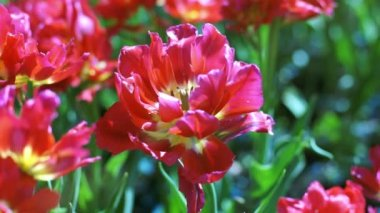 Big bud of red tulips, close-up — Stock Video
