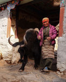 Woman and yak carrying goods in himalayas, Nepal. — Stock Photo