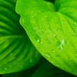 Green leaves with drops of dew — Stock Photo #64304705