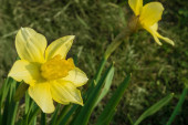 Yellow daffodil close-up — Stock Photo