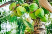 Green coconuts on the palm tree — Stock Photo