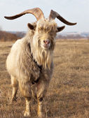Old unkempt goat with big horns. — Stock Photo