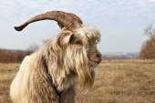Old unkempt goat with big horns. — Foto de Stock