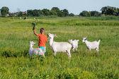 Boy  tending goats on meadow. — Stock Photo
