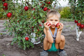 Boy helping in the garden to pick apples. — Stock Photo