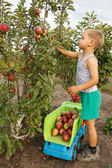 Kid collects  harvest of apples and adds into a truck. — Stock Photo