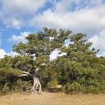 Old Pine Tree — Stock Photo #64364245