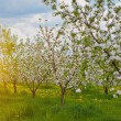Blossoming Apple Trees — Stock Photo #64364403