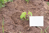 Young soya plant on a farm — Stock Photo
