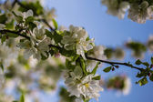 Apple tree blossom in the spring — 图库照片
