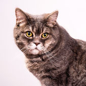 Grey cat isolated on white background — Stock Photo