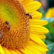 Close Up Honeybee on a Sunflower — Stock Photo #67840107