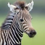 Zebra Foal — Stock Photo #64547287