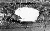 Rat temple, BIkaner — Stock Photo