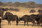 A group of african buffalos in savannah — Stock Photo