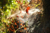 Dried leaves with spider web — Stock Photo