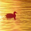 Duck on the pond at sunset — Stock Photo #70639635